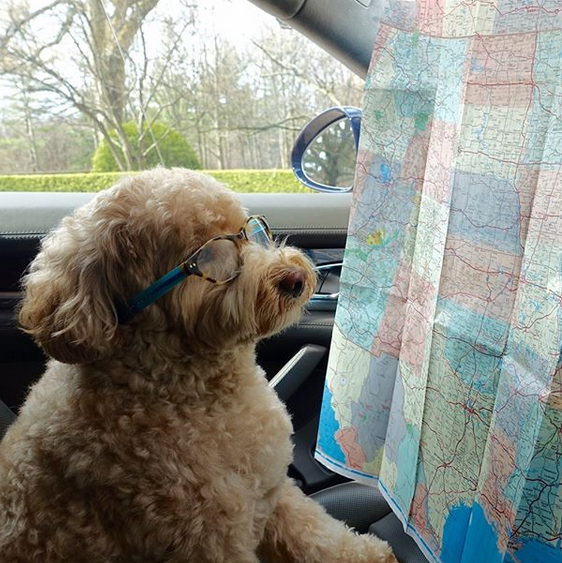 Dog looking at a map.