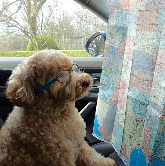 Dog looking at a map.