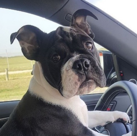 French bull dog driving.