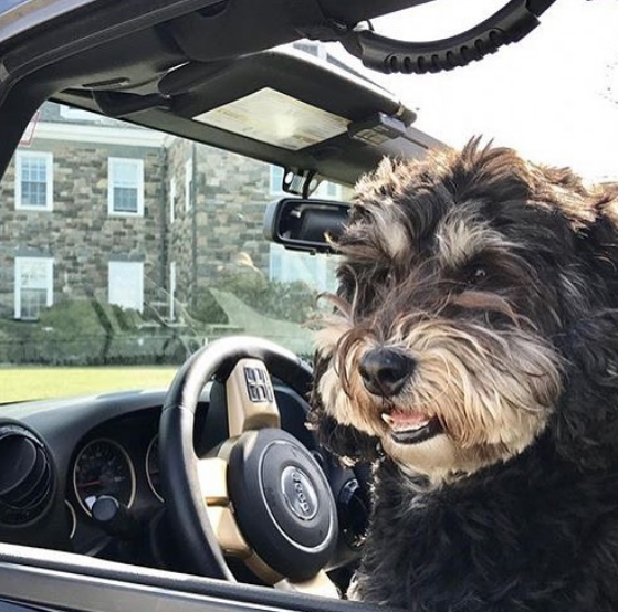 Schnauzer driving a Jeep.